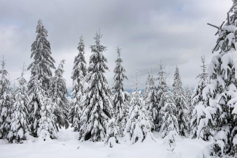 Abeto cobertos de neve mágicos nas montanhas fotografia de stock royalty free