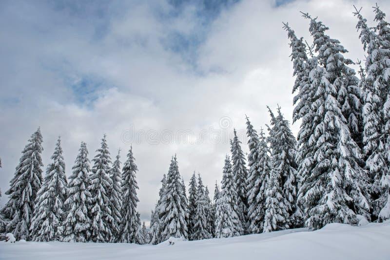 Abeto cobertos de neve mágicos nas montanhas imagens de stock