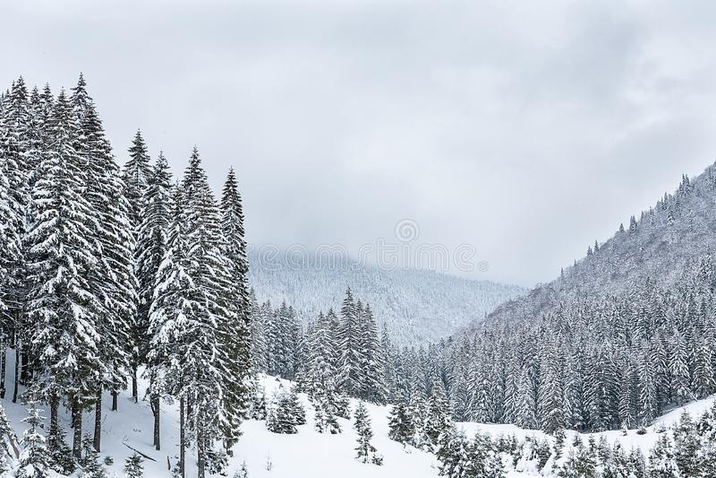 Abeto cobertos de neve no fundo de picos de montanha imagens de stock