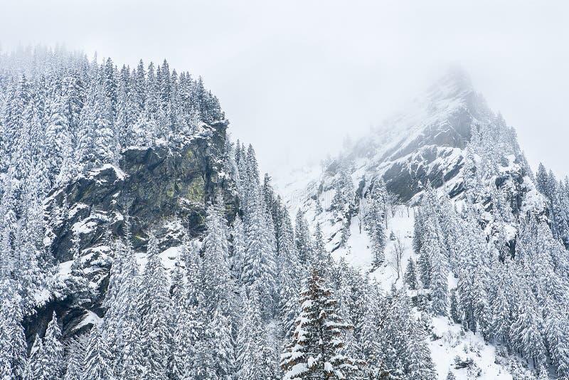 Abeto cobertos de neve no fundo de picos de montanha imagem de stock