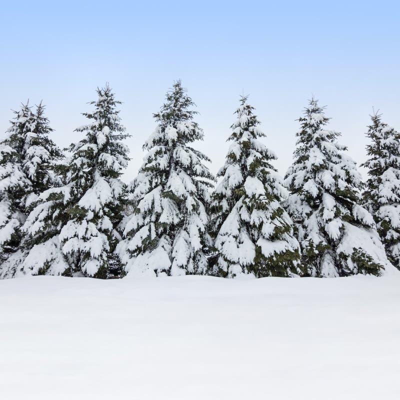 Abeto cobertos pela neve, beleza do inverno fotos de stock