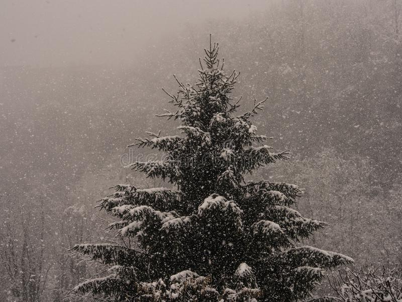 Abeto durante nevadas imagen de archivo