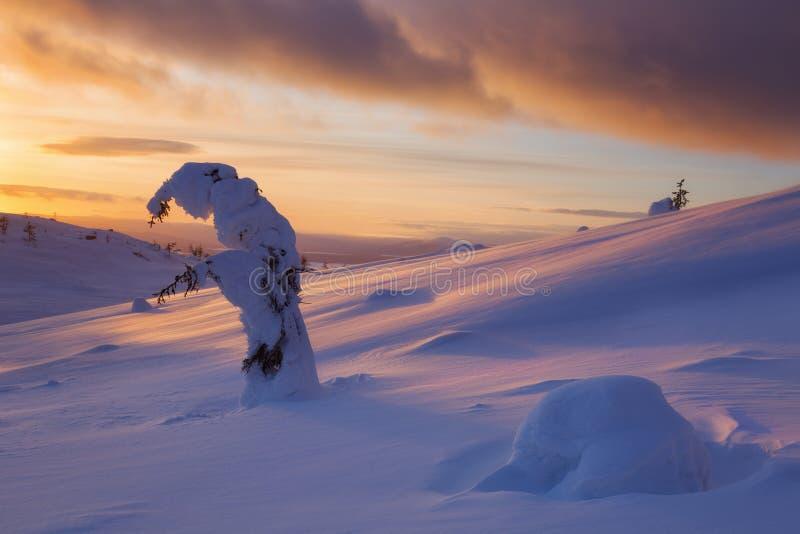 Abeto nevado en la puesta del sol imágenes de archivo libres de regalías