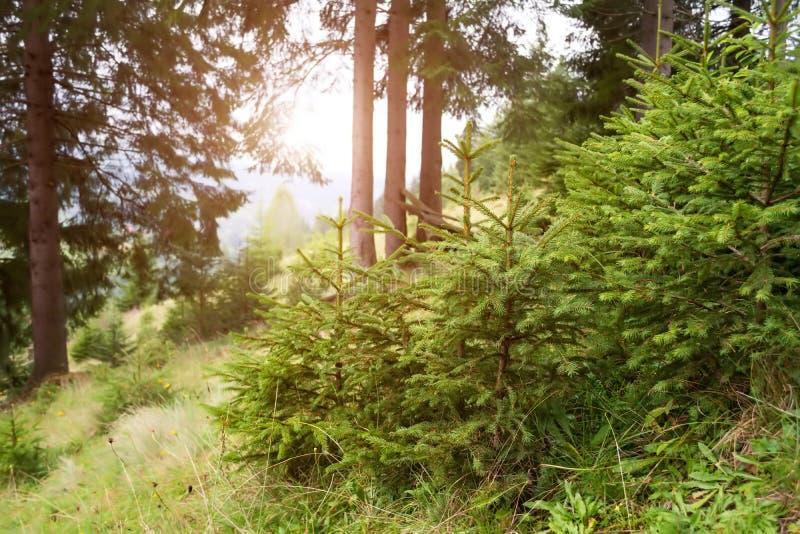 Abeto novos nas plantas pequenas da floresta fotos de stock royalty free