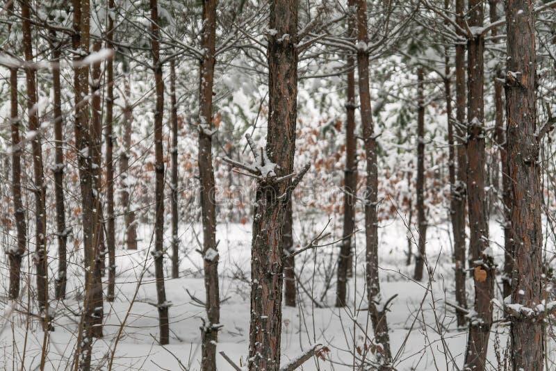 Abeto verde derramado con nieve gruesa fotos de archivo libres de regalías