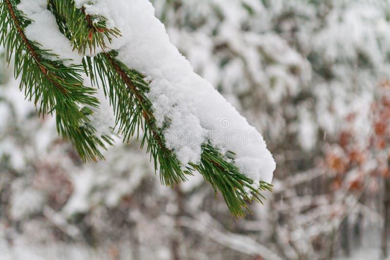 Abeto verde derramado con nieve gruesa imagen de archivo libre de regalías