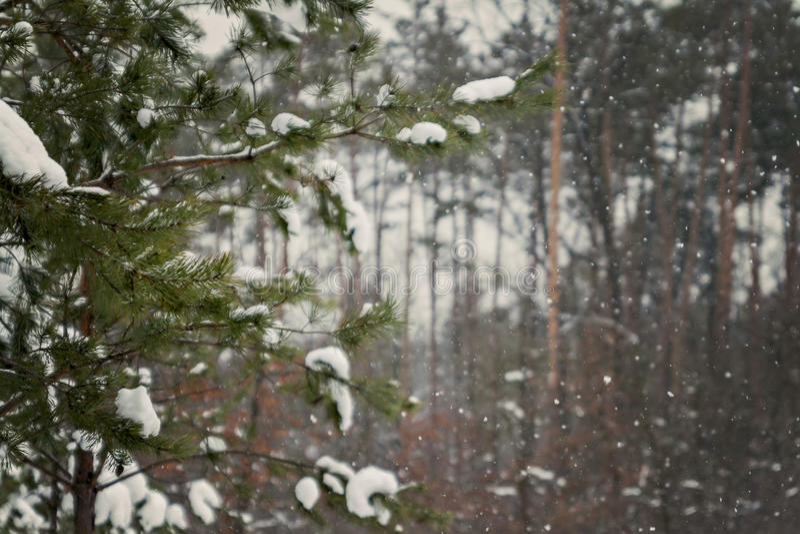 Abeto verde derramado con nieve gruesa imágenes de archivo libres de regalías