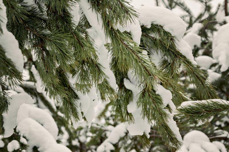 Abeto verde derramado con nieve gruesa fotografía de archivo libre de regalías