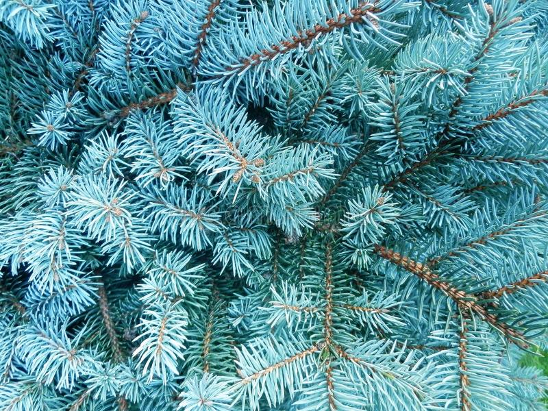 Abeto vermelho azul (pungens do Picea) fotografia de stock royalty free