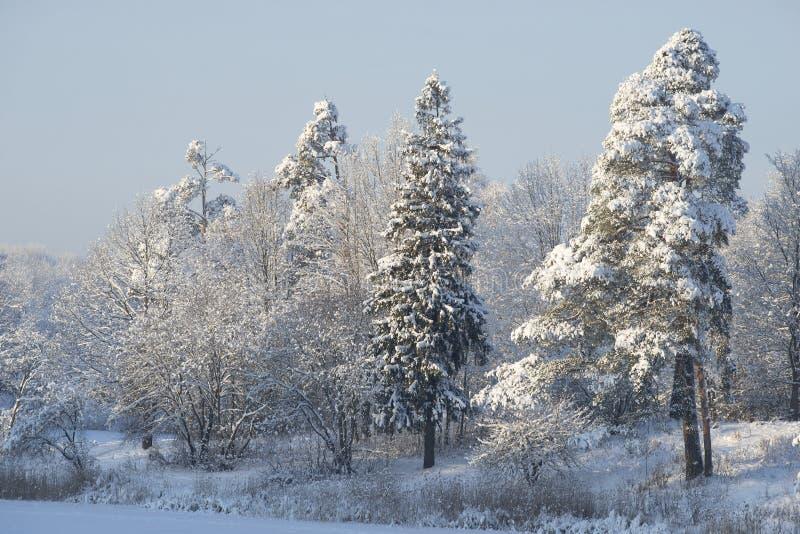 Abeto vermelho coberto de neve na costa do lago do inverno Parque do convento da área, Gatchina imagem de stock royalty free