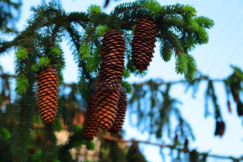 Abeto vermelho com cones fotografia de stock royalty free