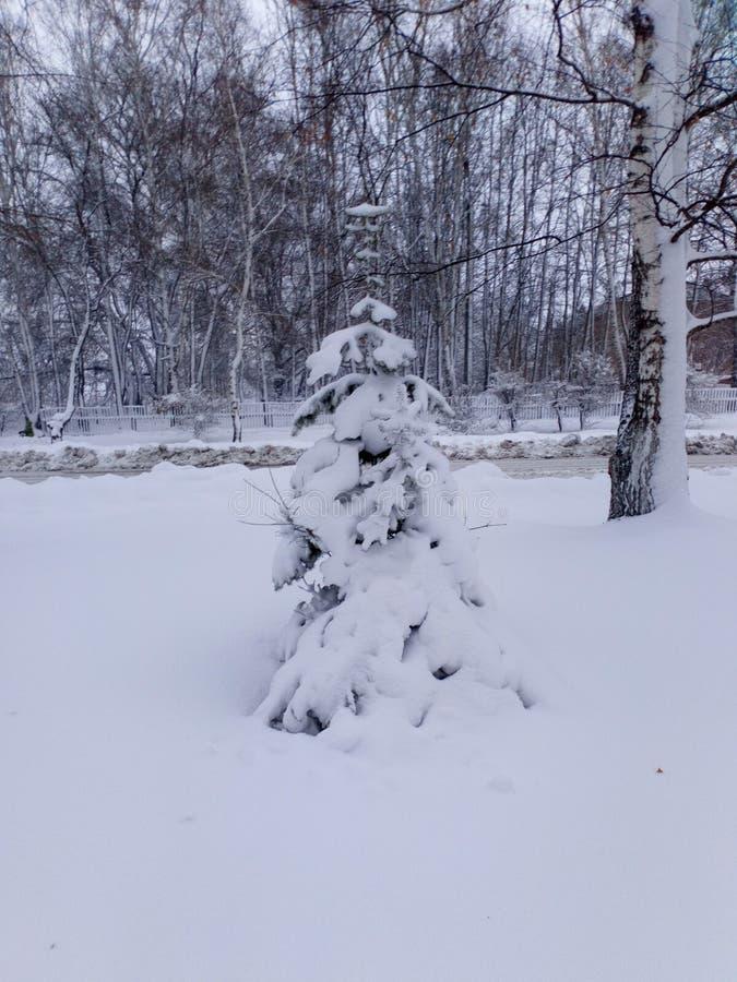 Abeto vermelho na neve imagens de stock