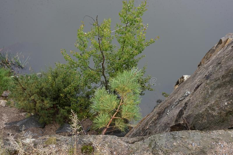 Abeto vermelho novo que cresceu em uma rocha em um penhasco Em torno da névoa imagens de stock royalty free