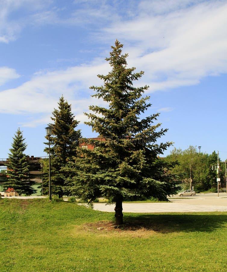 abetos azules grandes en el parque foto de archivo libre de regalías
