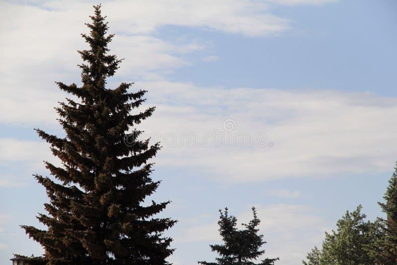 Abetos azules hermosos en el parque fotografía de archivo