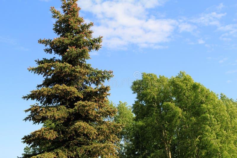 Abetos azules hermosos en el parque imagen de archivo libre de regalías