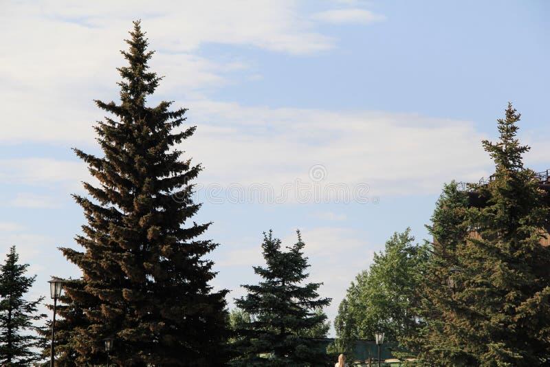 Abetos azules hermosos en el parque imágenes de archivo libres de regalías