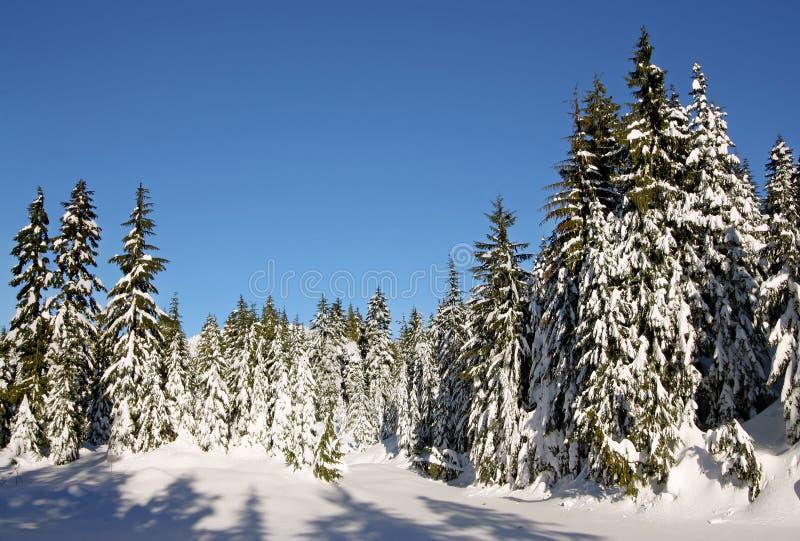 Abetos cubiertos en nieve fresca fotos de archivo