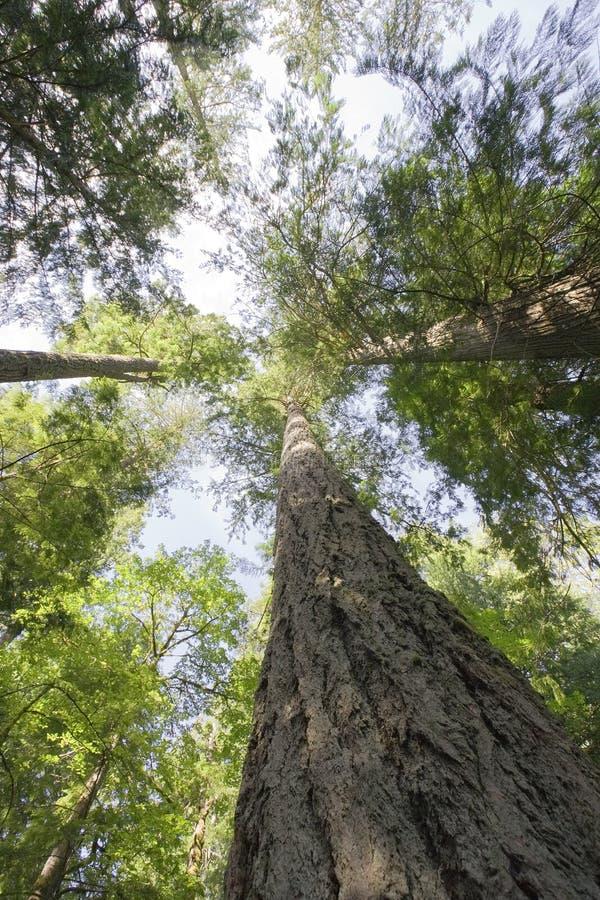 Abetos de Douglas gigantes na floresta húmida temperada fotografia de stock royalty free