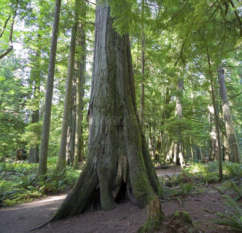 Abetos de Douglas gigantes na floresta húmida temperada foto de stock royalty free