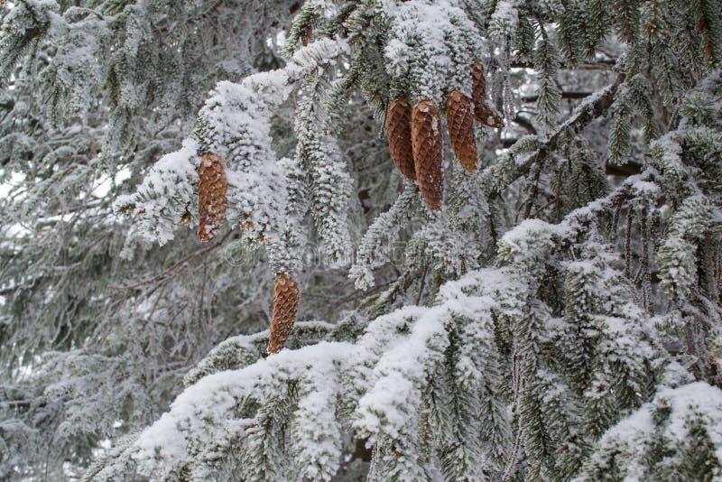 Abetos hermosos con los conos del pino asperjados con nieve foto de archivo