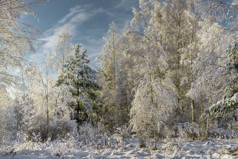 Abetos Nevado en bosque del invierno en las nevadas/el bosque nevado fotografía de archivo libre de regalías