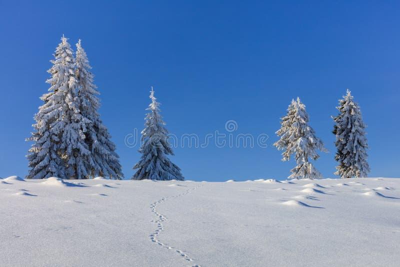 Abetos no inverno fotografia de stock royalty free