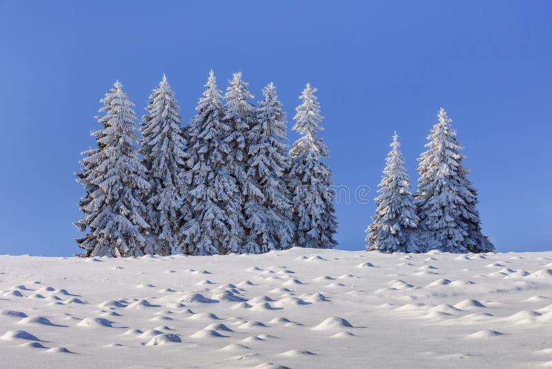 Abetos no inverno fotos de stock royalty free
