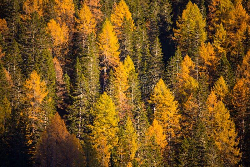 Abetos y alerces en tiempo del otoño imagen de archivo
