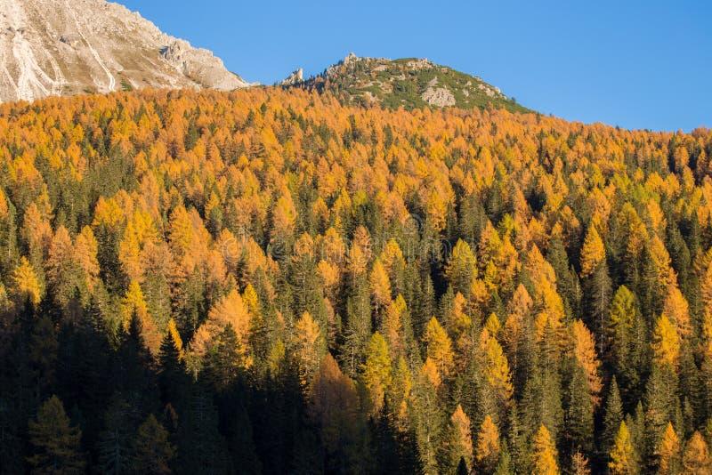 Abetos y alerces en un paisaje de las dolomías, Italia del otoño imagen de archivo