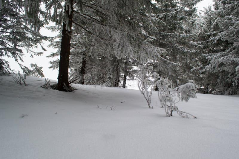 Abetos y arbustos del paisaje del invierno en la nieve foto de archivo libre de regalías