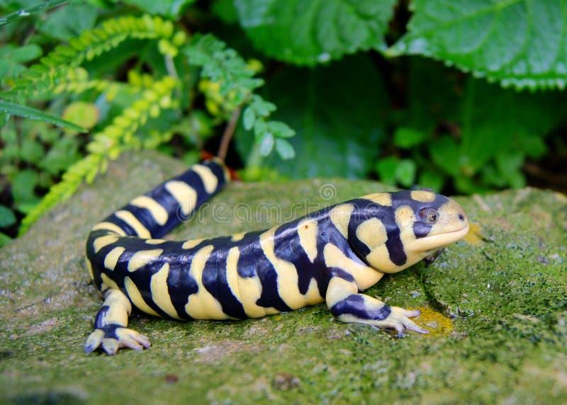 Abgehaltener TigerSalamander, Ambystoma mavortium lizenzfreie stockfotos