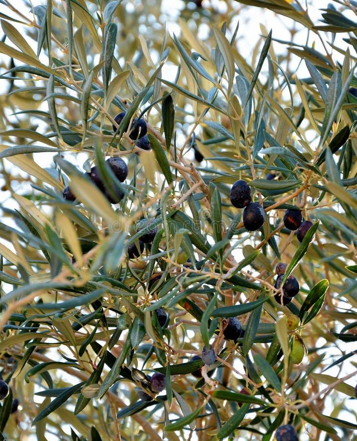 Abgeschlossener Blick auf schwarze Oliven auf Baum lizenzfreie stockfotos