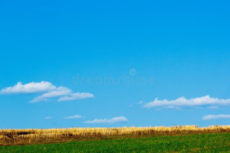 Abgeschrägte Stiele des Weizens stockfoto