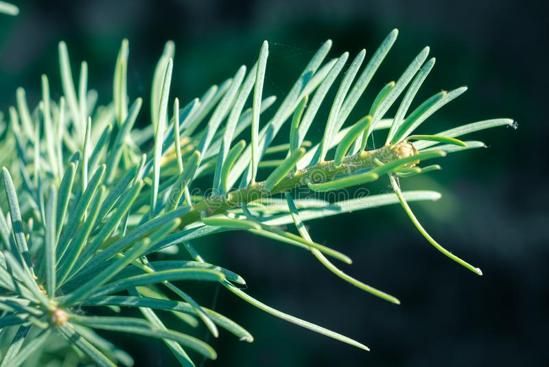 Abies concolor白杉年轻射击的详述的看法  大青绿色软的针 免版税库存图片