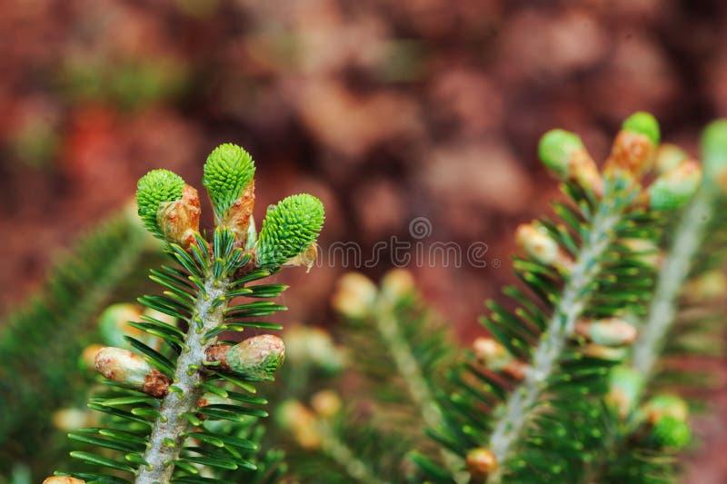 Abies o koreana, cultivar do abeto coreano com botões frescos fotografia de stock