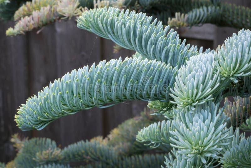 Abies procera glauca & x28年轻射击;高尚的fir& x29;在春天在一个植物园里 色的美丽软蓝色银色 免版税库存照片