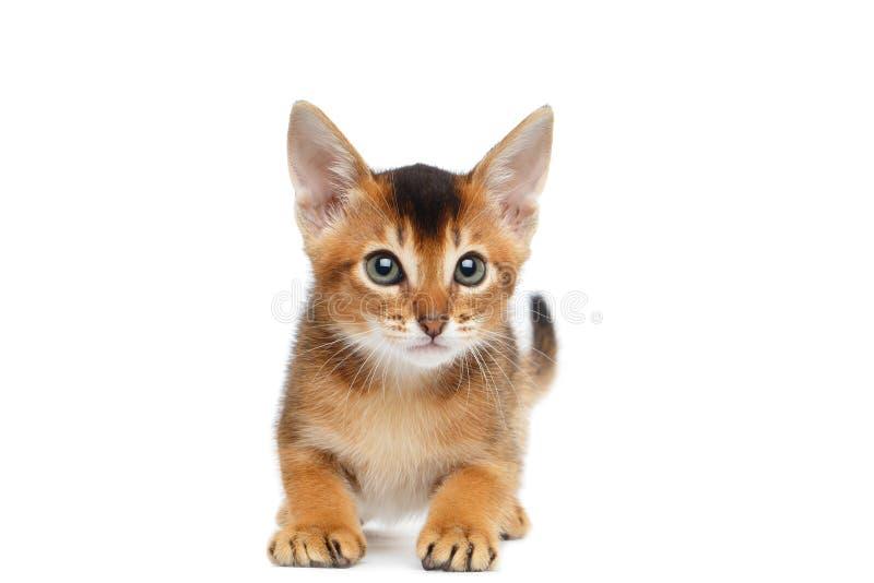 Abissino allegro Kitty Curious Standing su fondo bianco isolato immagini stock