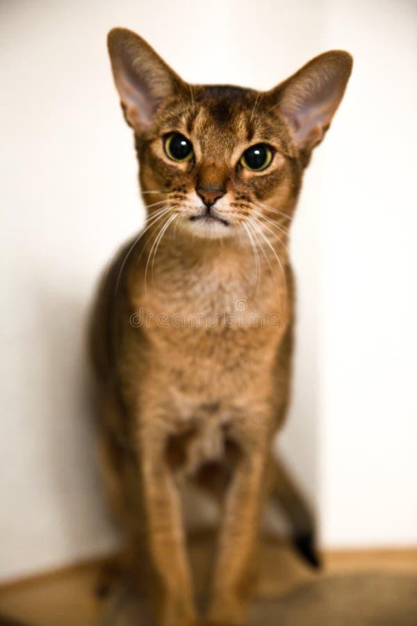 Abisyński kot, żeński portret zdjęcia royalty free