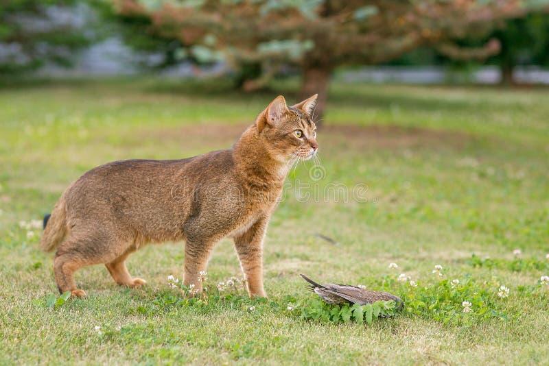 Abisyński kot tropi ptaka fotografia stock