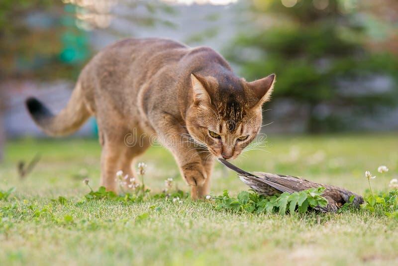 Abisyński kot tropi ptaka obraz royalty free