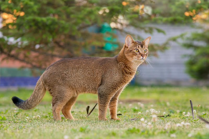 Abisyński kot tropi ptaka obrazy royalty free