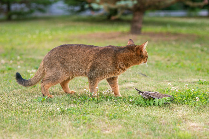 Abisyński kot tropi ptaka w na wolnym powietrzu fotografia stock