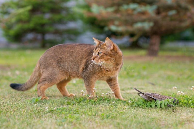 Abisyński kot tropi ptaka w na wolnym powietrzu obrazy royalty free