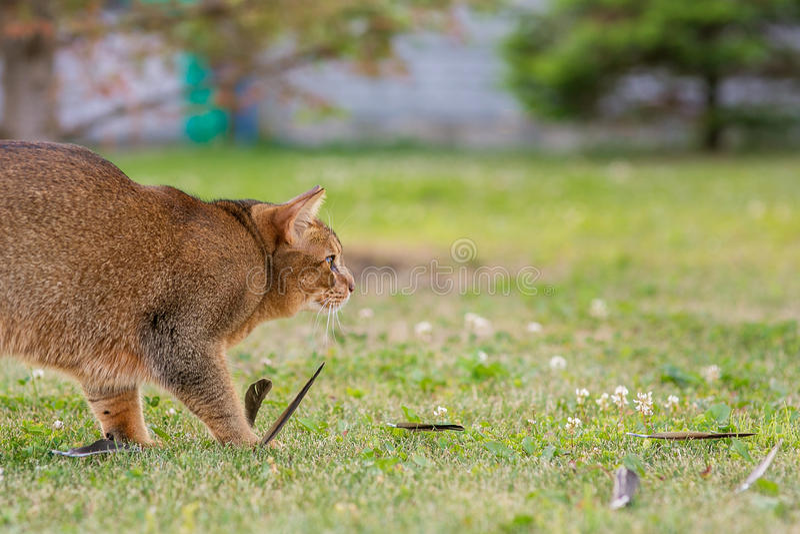 Abisyński kot tropi ptaka w na wolnym powietrzu obraz stock