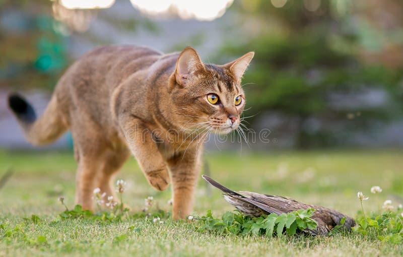 Abisyński kot tropi ptaka w na wolnym powietrzu obraz royalty free