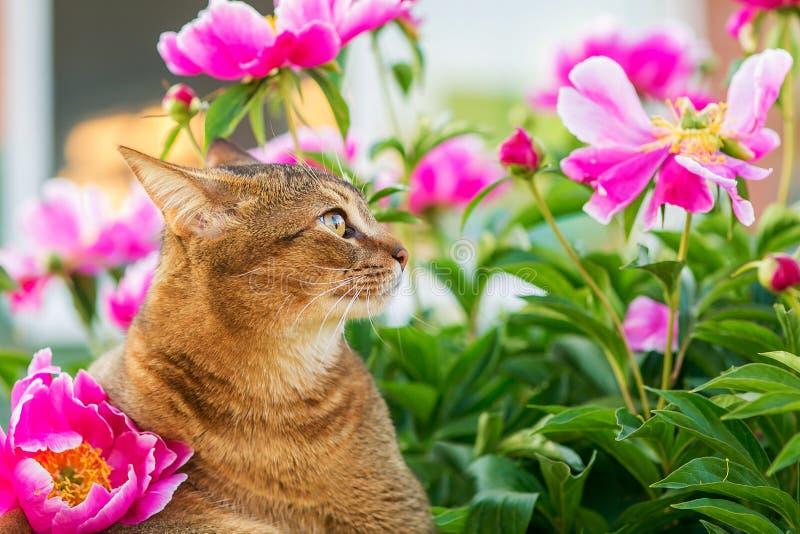 Abisyński kot w kwiatach zdjęcie royalty free