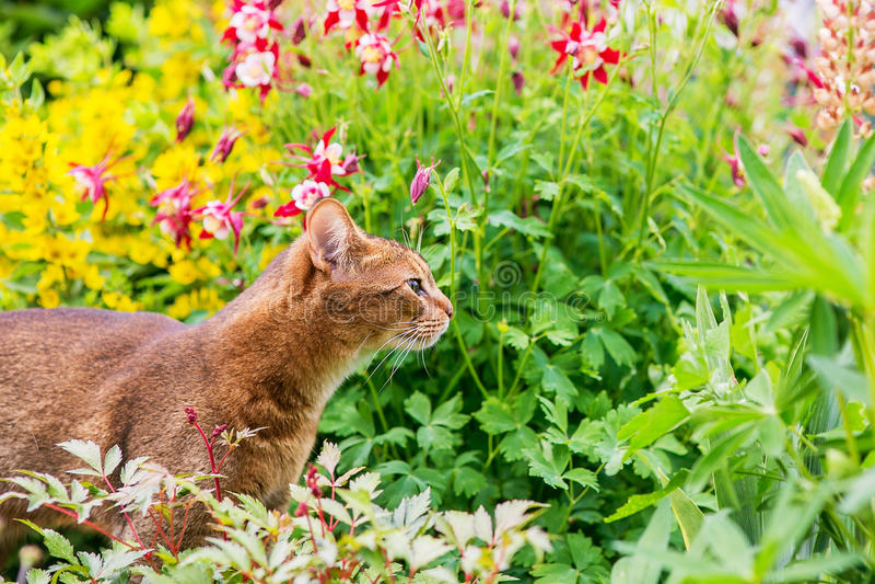 Abisyński kot w kwiatach fotografia stock