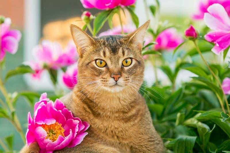 Abisyński kot w kwiatach obraz royalty free