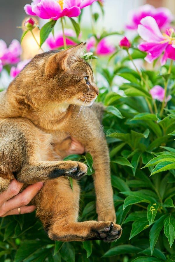 Abisyński kot w kwiatach obraz stock
